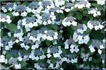 ヤマアジサイ (山紫陽花)