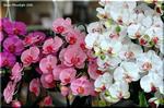 光触媒 造花「胡蝶蘭」