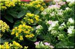 人気の多肉植物 カランコエ 「ブロスフェルディアナ」