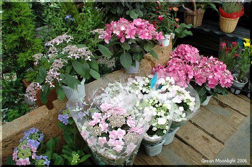 紫陽花(アジサイ)の多彩な品種