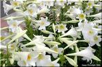 気品のある芳香と花色 新テッポウユリ