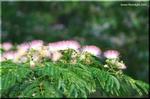 綿毛のような桃花 ネムノキ(合歓木)