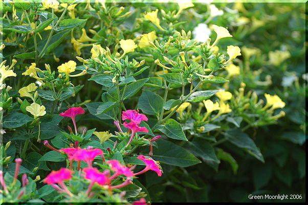 夏を彩る オシロイバナ(白粉花)