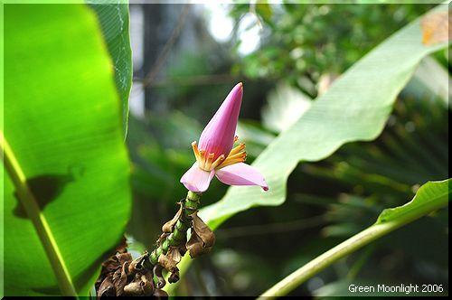 不思議な魅力 紅色のバナナの花