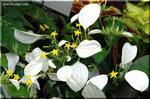ホワイトコンロンカ 「真白き妖精」