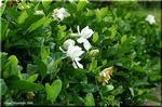クチナシの白い花 芳しい香り