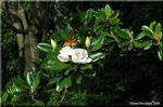 整った巨樹に白い花が咲く泰山木
