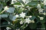 濃緑の葉 純白の花 香る「花嫁花」