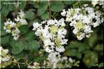 白いフリルのような花 サルスベリ(百日紅)