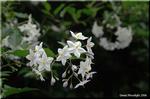 涼しげな白い星 ツルハナナス