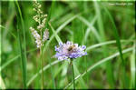 ちょっとニヒルな孤高の紫花 マツムシソウ