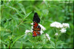 華やかな蝶たちの吸蜜場 「ヨツバヒヨドリ」