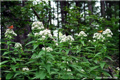 華やかな蝶たちの吸蜜場 「ヨツバヒヨドリ」2
