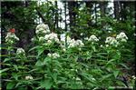 華やかな蝶たちの吸蜜場 「ヨツバヒヨドリ」 2