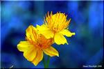 高原を黄金色に染めて咲く金梅草