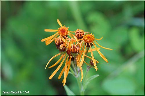 独特な姿 コウリンカ(紅輪花)