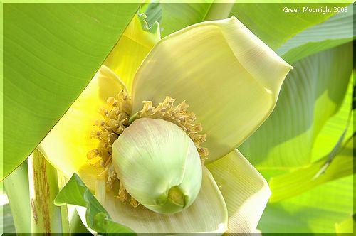 ご近所のバナナ 「黄色い花」編