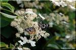 特徴的な白い装飾花 ノリウツギ
