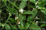 目立たない白い花 キンカン(金柑)
