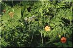 鮮やかな橙の穏やかな花 フシグロセンノウ
