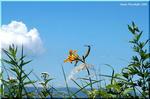 青い空に白い雲 橙のニッコウキスゲ