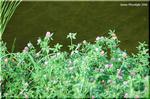 役に立つ帰化植物 アカツメクサ(赤詰草)