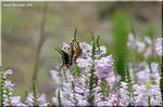 背の高いシソ科の総状花序 ハナトラノオ
