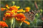 オレンジ色の情熱的な花 マリーゴールド