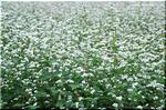 卓越した健康食品 ソバ(蕎麦)の白い花