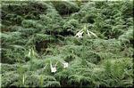 端正な白花 タカサゴユリ