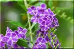 人気の青紫花 園芸種 デュランタ「宝塚」