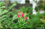 海岸の砂地に咲く日本の薔薇 ハマナス