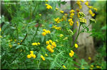 服飾ボタンのような山吹色の花 タンジー