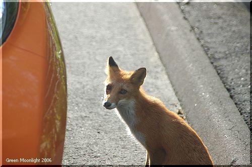 こいつが足を噛んだ犯人 じゃなくて 犯狐