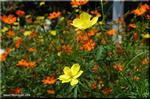 暖かく輝く 鮮やか色のキバナコスモス