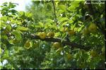 秋の味覚 バリエーション豊かな「梨」