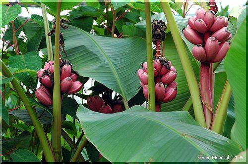 上を向いて咲き稔る赤い皮のバナナ