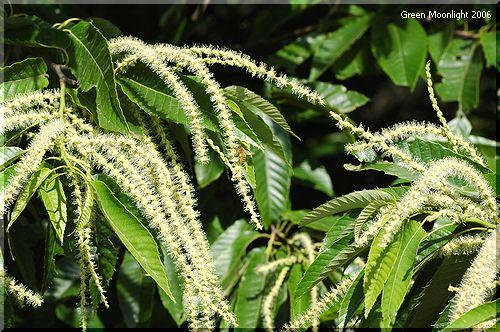 クリの淡い栗色の花 長い花と実の謎?
