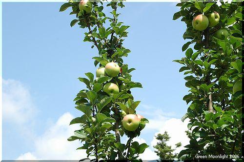 赤いリンゴ だまってみている青い空