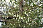 花も木も可愛くて評判の良い庭木 エゴノキ