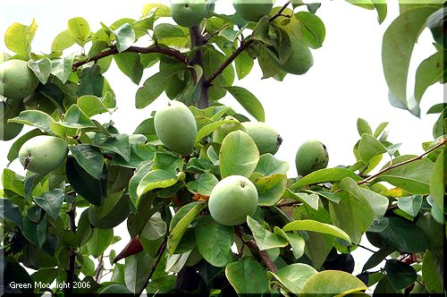 街路樹にたくさんの大きな果実 カリン