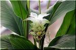 健胃薬、香辛料、着色料 有用植物のターメリック(鬱金)