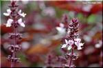 気品のある花 ダーク・オパール・バジル