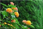 長く咲き続ける 七色手毬 ランタナ