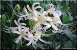 美しさが引き立つ シロバナヒガンバナ