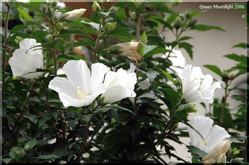 長い花期を楽しむ有用な庭木 ムクゲ