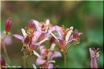 茶花に適している タイワンホトトギス