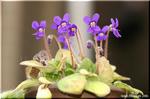 小さな鉢から次々咲く『すみれ岩桐草』