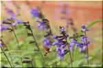 大きく濃い紫の花 サルビア・ガラニチカ