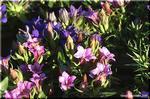 可愛らしく秋を彩る慎ましい花 リンドウ